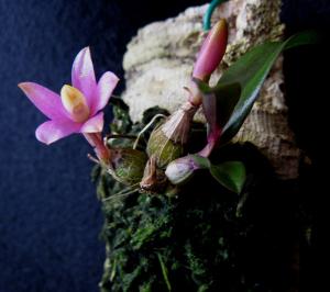 Den laevifolium 2 B